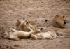 © Reuters. Lionesses rest in a river bed in the Singita Grumeti Game Reserve